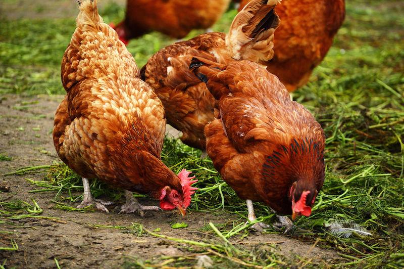 chickens-walking-160720.jpg