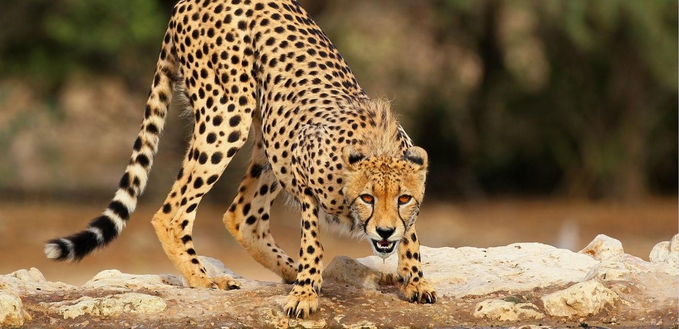 深度 | 小心猎豹
